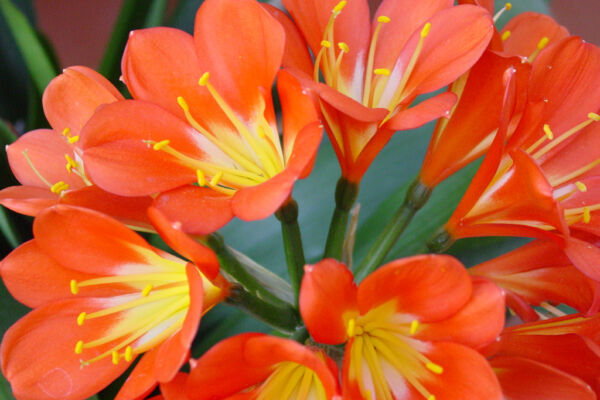 Beautifull clivia flowers in winter at the Costa del Sol