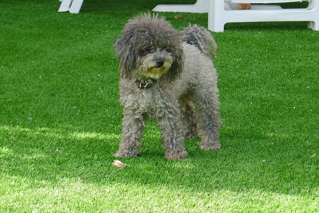 Dogs and Artificial lawn in a small garden at Park beach Estepona