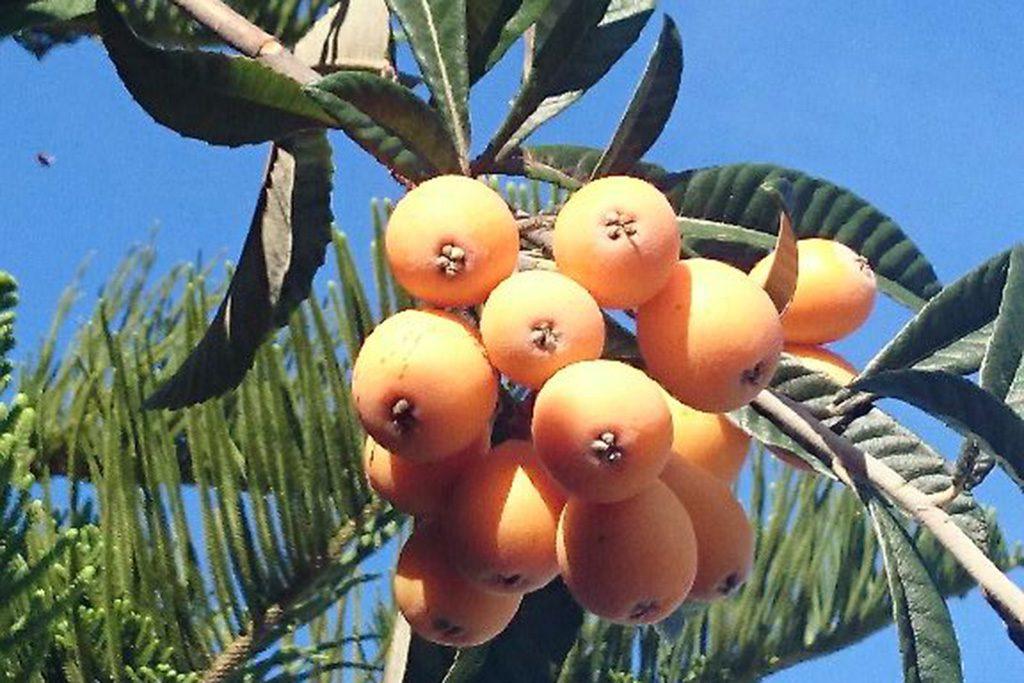 Los nisperos son frutos muy ricos y sanos, siempre y cuando se pueden comer directamente del árbol