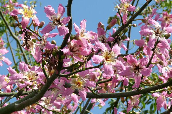 Espectacular floracion de un arbol Chorisia speciosa en el mes de Noviembre en la Costa del Sol