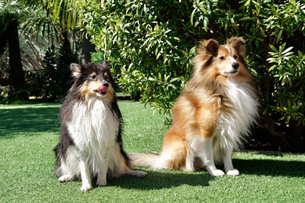 Artificial grass is perfect for dogs