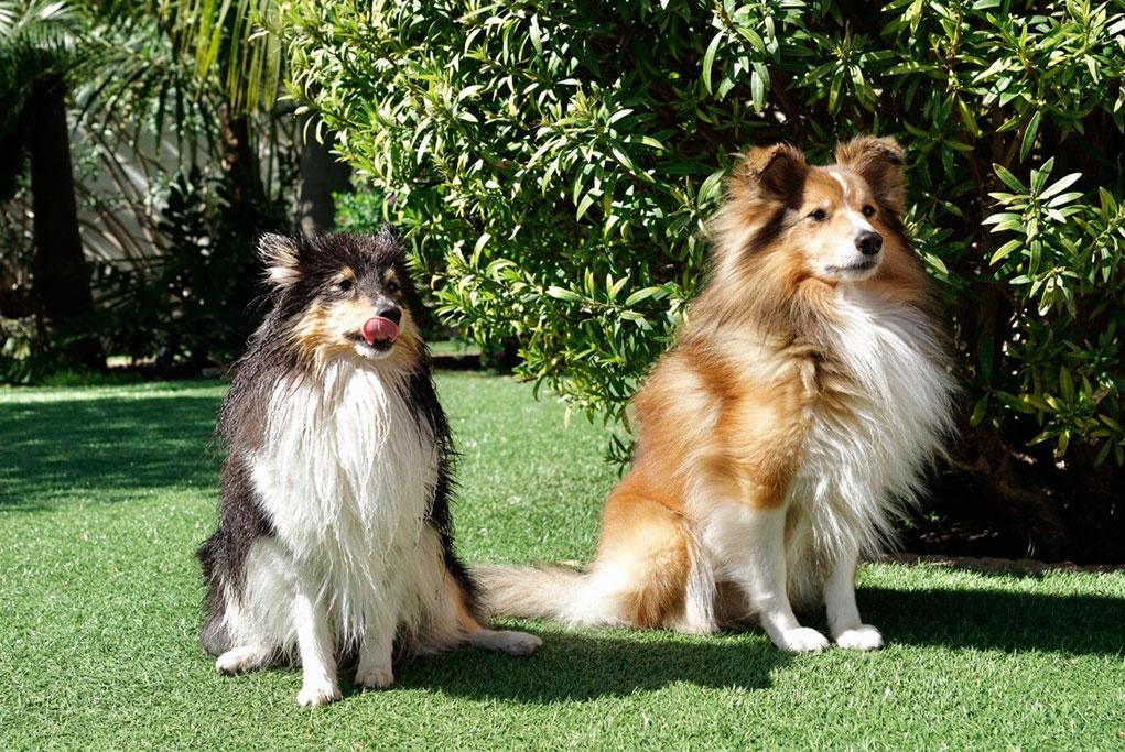 Césped artificial para perros