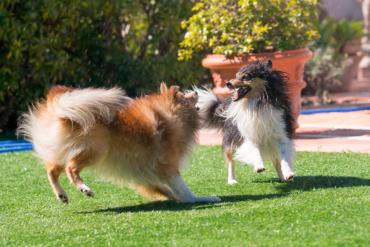 Perros y cesped artificial